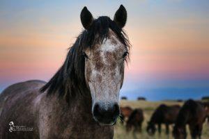 A curious and trusting mare. Livno, Bosnia, 2016-09-04. © 2016, photo: Maksida Vogt